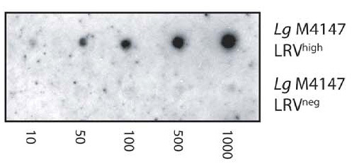 Figure 4. J2 antibody is used in dot blots to detect dsRNA from Leishmania RNA virus (LRV) in the Leishmania parasite L. guyanensis. A serial dilution of 1000 to 10 parasites from LRV-positive and negative control strains - Lg4147LRVhigh and LG4147LRVneg respectively - is shown. Picture taken from Zangger et al. (2013) PLoS Negl Trop Dis 7:e2006.