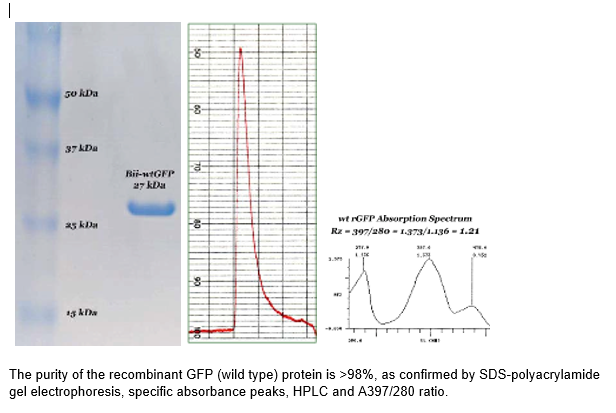 Figure 1. The purity of the recombinant GFP (wild type) protein is >98%, as confirmed by SDS-polyacrylamide gel electrophoresis, specific absorbance peaks, HPLC and A397/280 ratio.