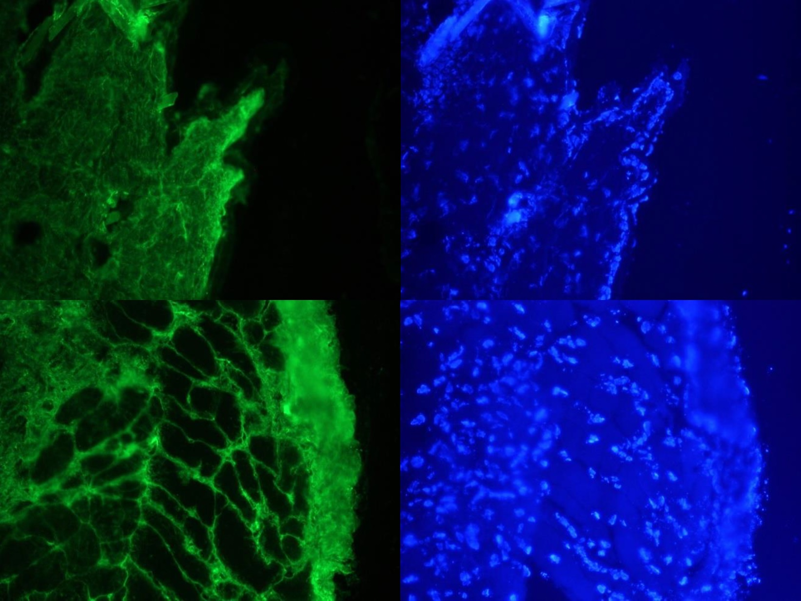 Figure 1. Images on the left: Specific indirect immunostaining of connective tissue in frozen sections of mouse skin with FI24951 (diluted 1:1000) Images on the right: Corresponding DAPI staining of nuclei in epidermis, muscle and connective tissue.