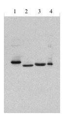 Legend: Exalpha's rabbit anti Type I IFN antibody at 1 ug/ml western blot of 1] Consensus IFN alpha, 2] IFN alpha 2a, 3] IFN beta 1 b, 4] IFN alpha 1.