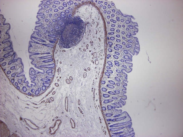 Figure 3. Formalin fixed, paraffin embedded human small intestine, immunostained for actin using MUB0107P (clone HHF35) at a 1:100 dilution. Note staining of smooth muscle cells and no reactivity on the epithelium and connective tissue.