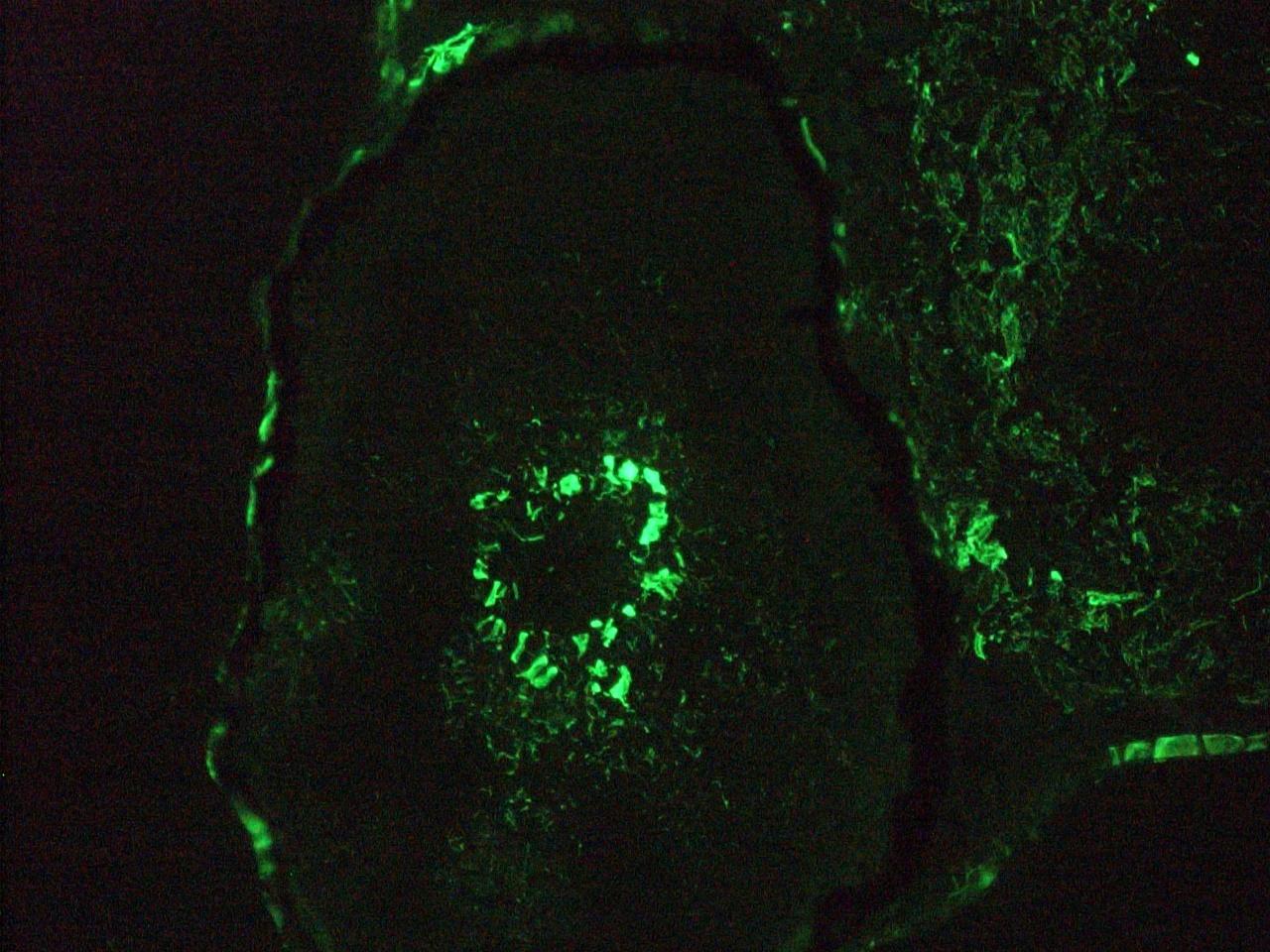 Figure 8. Immunohistochemistry on frozen section of zebra fish embryo