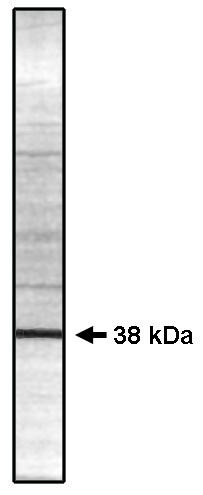 Western blot using PP 1 gamma 2 antibody (Cat. No. P130P) on rat testes lysate.