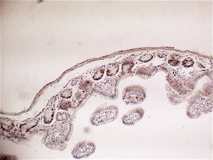 Figure 3: Immunolabeling of mouse small intestine with the X1545K.1 kit showing BrdU positive cells in the proliferating compartment of the crypts (high magnification)