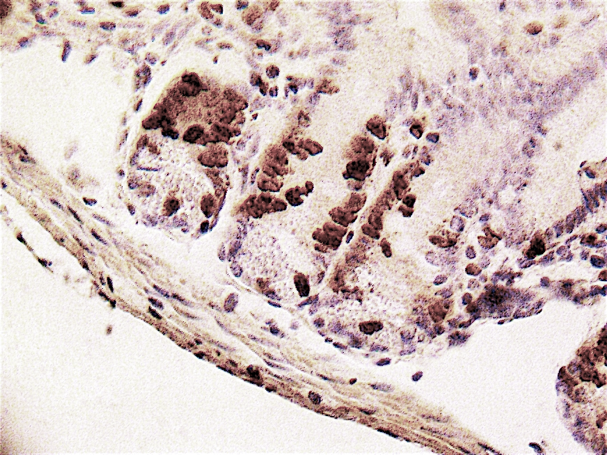 Figure 4: Immunolabeling of mouse small intestine with the X1545K.1 kit showing BrdU positive cells in the proliferating compartment of the crypts (high magnification