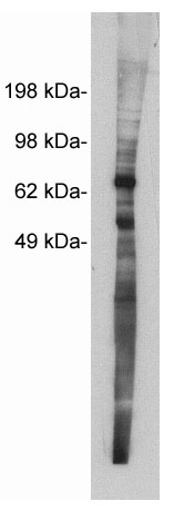 Western blot using Exalpha's X1873P, rabbit polyclonal at 5 ug/ml on MDCKII cell extract (10 ug/lane). Blots were developed with goat anti-rabbit Ig (1:100k) and Pierce's Supersignal West Femto system.