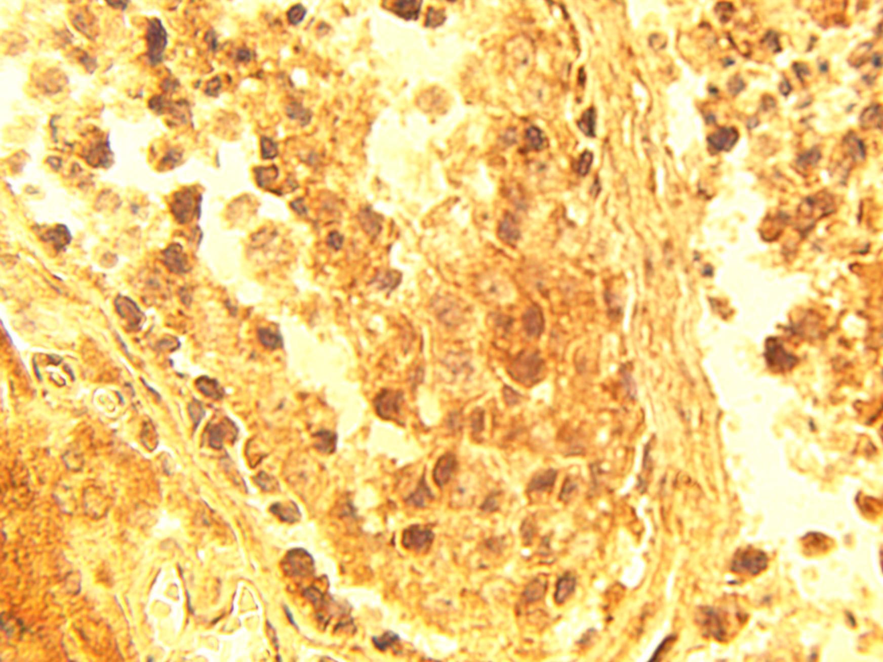 Immunohistochemical staining of normal human testis tissue using ELOV4 antibody (Cat. No. X2381P) at 15 µg/ml.