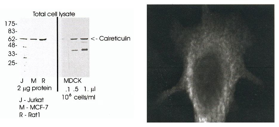 Western blot using antibody at 1:5000 dilution on indicated samples.  Immunofluorescence of MCF-7 cells stained with antibody at 1:50 dilution.